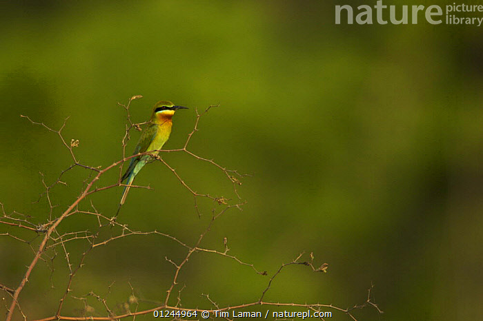 Blue-tailed Bee-eater (Merops philippinis) perched in shrub in the Sundarban Forest, Khulna Province, Bangladesh., ASIA,BANGLADESH,BEE EATERS,BIRDS,COASTS,MANGROVE FOREST,MANGROVES,SUNDARBAN,SUNDARBANS,SUNDERBANS,VERTEBRATES, Tim Laman