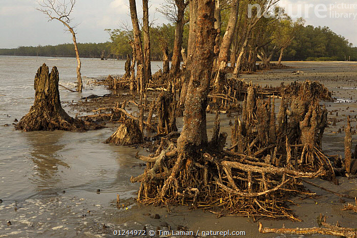 Mangroves at the edge of the Bay of Bengal on the S coast of Bangladesh. These mangroves are battered by the sea, but are important in protecting the coast from storms and erosion. Sundarban Forest, Khulna Province, Bangladesh, April 2006, ASIA,BANGLADESH,COASTS,ENVIRONMENTAL,HABITAT,LANDSCAPES,MANGROVE FOREST,MANGROVES,MANGROVE SWAMPS,ROOTS,SUNDARBAN,SUNDARBANS,SUNDERBANS,TREES,INDIAN-SUBCONTINENT,PLANTS, Tim Laman