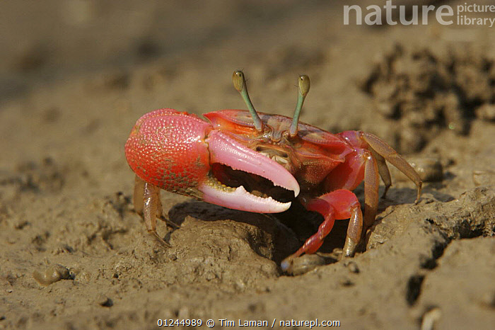 Fiddler crab {Uca sp} emerging from its burrow in the mangrove mud to forage during low tide,  Sundarban Forest, Khulna Province, Bangladesh.  ,  ARTHROPODS,ASIA,BANGLADESH,CLAWS,COASTS,CRABS,CRUSTACEANS,FIDDLER CRABS,INVERTEBRATES,MANGROVE FOREST,MANGROVES,RED,SUNDARBAN,SUNDARBANS,SUNDERBANS  ,  Tim Laman