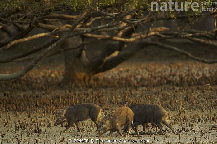 A group of Wild boar (Sus scrofa) foraging on the mudflats at the edge of a Sonnneratia mangrove forest, Sundarban Forest, Khulna Province, Bangladesh, April 2006, ARTIODACTYLA,ASIA,BANGLADESH,COASTS,FEEDING,GROUPS,HABITAT,MAMMALS,MANGROVE FOREST,MANGROVES,PIGS,ROOTS,SUIDS,SUNDARBAN,SUNDARBANS,SUNDERBANS,THREE,VERTEBRATES, Tim Laman