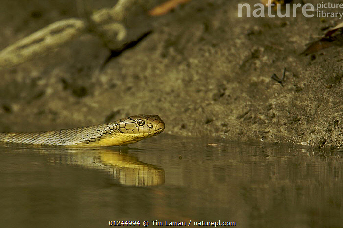King Cobra (Ophiophagus hannah) swimming, hunting other snakes along the edge of a mangrove river, Sundarban Forest, Khulna Province, Bangladesh., ASIA,BANGLADESH,BEHAVIOUR,COASTS,COBRAS,MANGROVE FOREST,MANGROVES,REPTILES,SNAKES,SUNDARBAN,SUNDARBANS,SUNDERBANS,SWIMMING,VERTEBRATES,WATER, Tim Laman