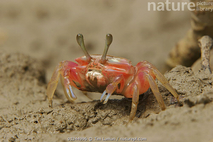 Fiddler crab (Uca sp) emerging from its burrow to forage on the mangrove mudflats at low tide, Sundarban Forest, Khulna Province, Bangladesh.  ,  ARTHROPODS,ASIA,BANGLADESH,COASTS,CRABS,CRUSTACEANS,FIDDLER CRABS,INVERTEBRATES,MANGROVE FOREST,MANGROVES,SUNDARBAN,SUNDARBANS,SUNDERBANS,INDIAN-SUBCONTINENT  ,  Tim Laman