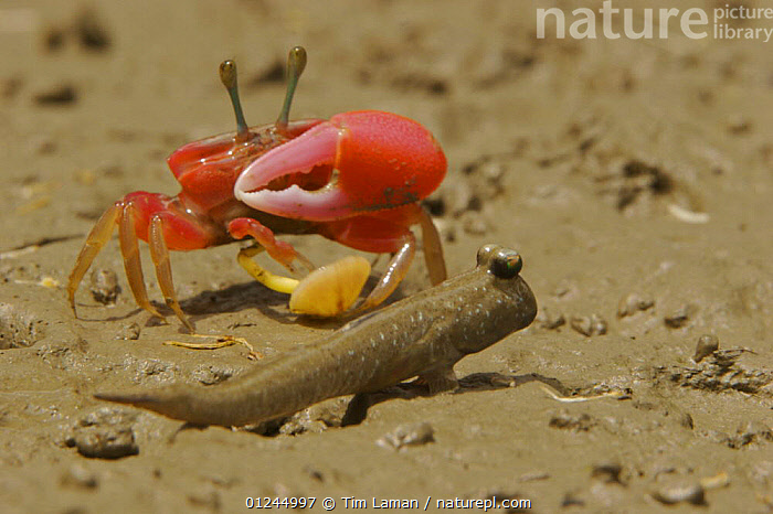Fiddler crab (Uca sp) emerging from its burrow to forage on the mangrove mudflats at low tide, and mudskipper fish, Sundarban Forest, Khulna Province, Bangladesh.  ,  ASIA,BANGLADESH,CLAWS,COASTS,CRABS,CRUSTACEANS,INVERTEBRATES,MANGROVE FOREST,MANGROVES,RED,SUNDARBAN,SUNDARBANS,SUNDERBANS,INDIAN-SUBCONTINENT  ,  Tim Laman