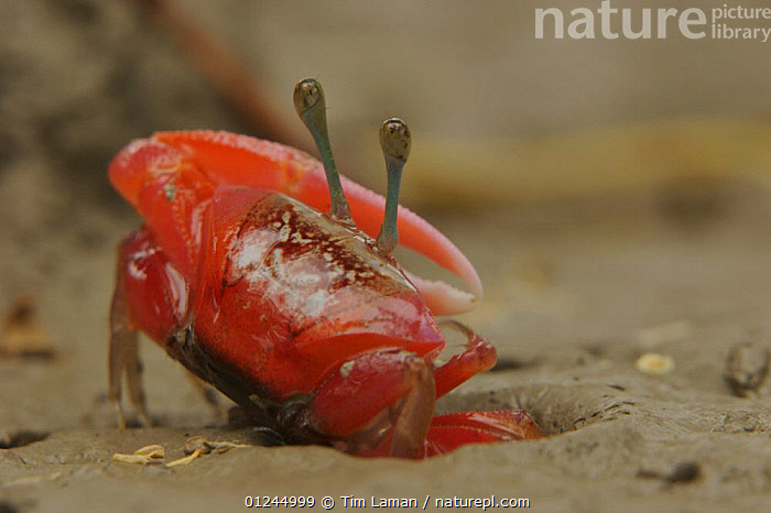 Fiddler crab (Uca sp) emerging from its burrow to forage on the mangrove mudflats at low tide, Sundarban Forest, Khulna Province, Bangladesh., ASIA,BANGLADESH,CLAWS,COASTS,CRABS,CRUSTACEANS,INVERTEBRATES,MANGROVE FOREST,MANGROVES,RED,SUNDARBAN,SUNDARBANS,SUNDERBANS,INDIAN-SUBCONTINENT, Tim Laman