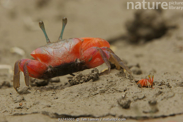 Fiddler crab (Uca sp) emerging from its burrow to forage on the mangrove mudflats at low tide, Sundarban Forest, Khulna Province, Bangladesh.  ,  ASIA,BANGLADESH,COASTS,CRABS,CRUSTACEANS,INVERTEBRATES,MANGROVE FOREST,MANGROVES,REAR,RED,SUNDARBAN,SUNDARBANS,SUNDERBANS,INDIAN-SUBCONTINENT  ,  Tim Laman