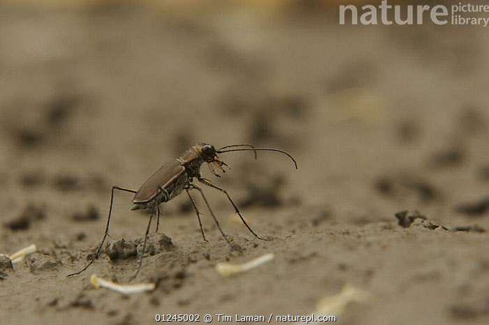 Tiger beetle (Cicindelidae) on the mangrove mudflats, Sundarban Forest, Khulna Province, Bangladesh, ASIA,BANGLADESH,BEETLES,COASTS,COLEOPTERA,INSECTS,INVERTEBRATES,MANGROVE FOREST,MANGROVES,SUNDARBAN,SUNDARBANS,SUNDERBANS,TIGER BEETLES, Tim Laman