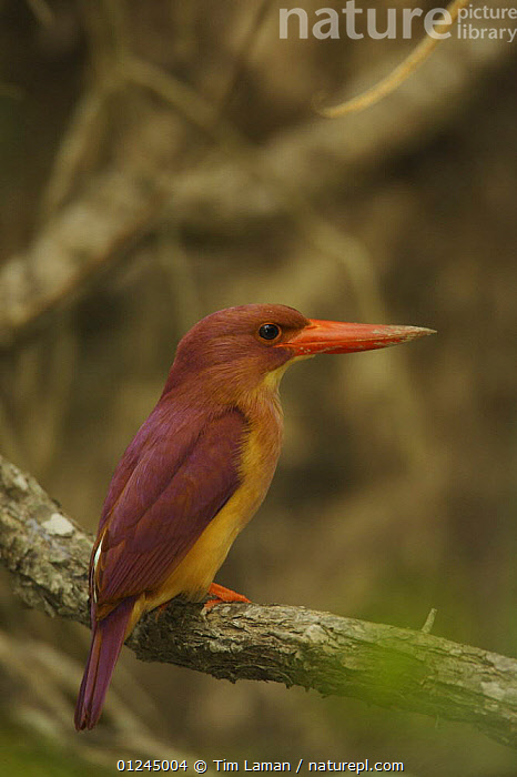 Ruddy Kingfisher (Halcyon coromanda) perched in the mangrove forest, Sundarban Forest, Khulna Province, Bangladesh., ASIA,BANGLADESH,BIRDS,COASTS,KINGFISHERS,MANGROVE FOREST,MANGROVES,SUNDARBAN,SUNDARBANS,SUNDERBANS,VERTEBRATES,VERTICAL, Tim Laman