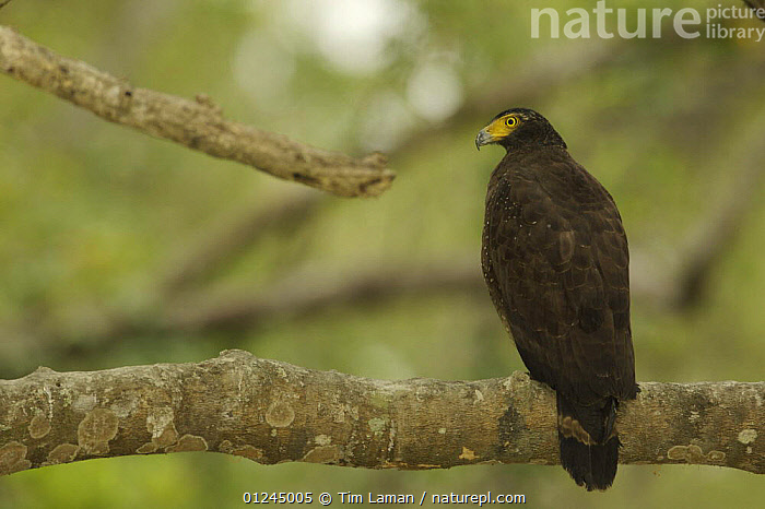 Crested Serpent Eagle (Spilornis cheela) perched along the side of a mangrove channel, Sundarban Forest, Khulna Province, Bangladesh., ASIA,BANGLADESH,BIRDS,BIRDS OF PREY,COASTS,EAGLES,MANGROVE FOREST,MANGROVES,SUNDARBAN,SUNDARBANS,SUNDERBANS,VERTEBRATES, Tim Laman