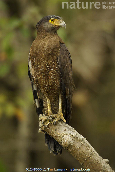 Crested Serpent Eagle (Spilornis cheela) perched along the side of a mangrove channel, Sundarban Forest, Khulna Province, Bangladesh., ASIA,BANGLADESH,BIRDS,BIRDS OF PREY,COASTS,EAGLES,MANGROVE FOREST,MANGROVES,SUNDARBAN,SUNDARBANS,SUNDERBANS,VERTEBRATES,VERTICAL, Tim Laman