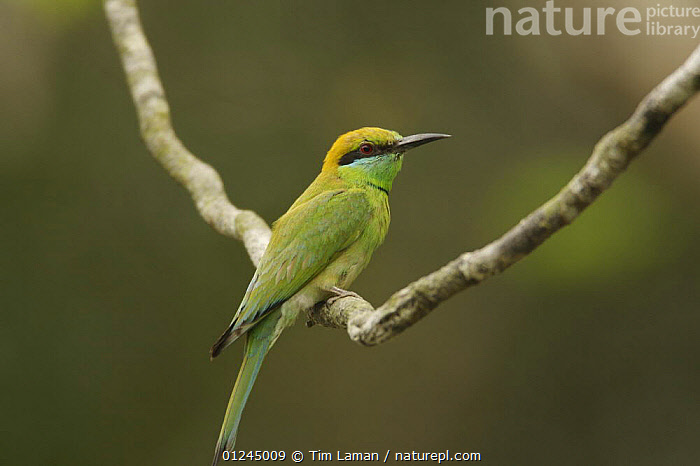 Little Green Bee-eater (Merops orientalis) perched in the Sundarban Forest, Khulna Province, Bangladesh., ASIA,BANGLADESH,BEE EATERS,BIRDS,COASTS,MANGROVE FOREST,MANGROVES,SUNDARBAN,SUNDARBANS,SUNDERBANS,VERTEBRATES, Tim Laman