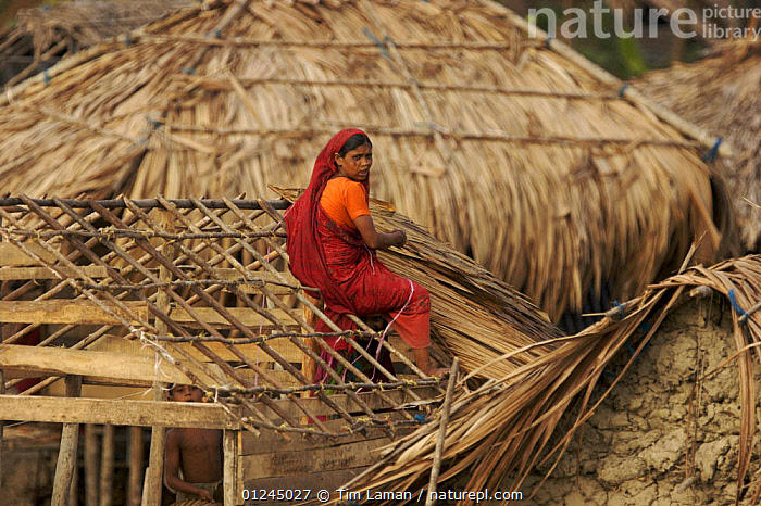 Woman thatching a roof in the village of Chandpai on the Passur River, where shrimp fry fishing to supply shrimp for the shrimp ponds is the main industry. Villagers live in simple mud and thatch huts that are washed away by high waters every year. Sunderbans, Khulna Province, Bangladesh, April 2006, ASIA,BANGLADESH,BUILDINGS,COASTS,COMMERCIAL,CRUSTACEANS,INVERTEBRATES,LANDSCAPES,MANGROVE,MANGROVES,MARINE,PEOPLE,RIVERS,SHRIMP FARMING,SHRIMPS,SUNDARBAN,SUNDARBANS,SUNDERBANS,WORKING,INDIAN-SUBCONTINENT, Tim Laman