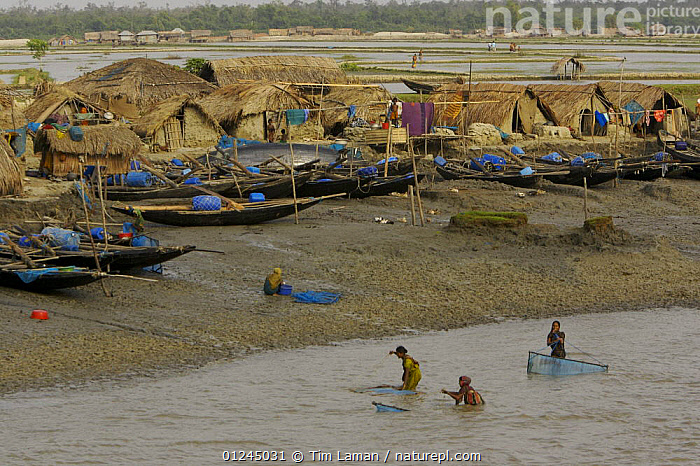 Villagers in the village of Chandpai on the Passur River, where shrimp fry fishing to supply shrimp for the shrimp ponds is the main industry. Villagers live in simple mud and thatch huts that are washed away by high waters every year. Sunderbans, Khulna Province, Bangladesh, April 2006, ASIA,BANGLADESH,BOATS,BUILDINGS,COASTS,COMMERCIAL,CRUSTACEANS,DRY LAND,FISHING,INVERTEBRATES,LANDSCAPES,MANGROVE,MANGROVES,MARINE,NETS,PEOPLE,RIVERS,SHRIMP FARMING,SHRIMPS,SUNDARBAN,SUNDARBANS,SUNDERBANS,INDIAN-SUBCONTINENT, Tim Laman