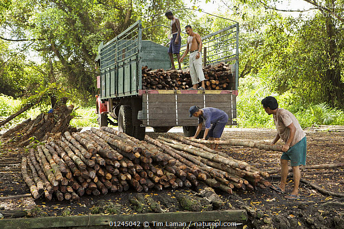Men load (Rhizophora apiculata) mangrove poles into a truck. These poles are harvested during the 15 year thinning operation in the Matang Mangrove forest, where mangroves are grown on a 30 year cycle for charcoal production, Perak, Malaysia. May 2006, ASIA,CHARCOAL,COMMERCIAL,LANDSCAPES,MALAYSIA,MANGROVE,MANGROVES,PEOPLE,SUSTAINABLE,TIMBER,VEHICLES,WOOD,WORKING, Tim Laman