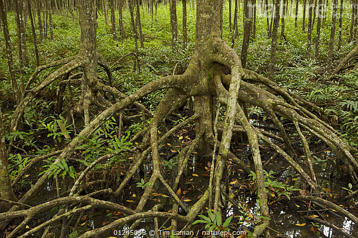 Mangrove (Rhizophora apiculata) trees in a protected area of the Matang mangrove forest. Taiping vicinity, Perak, Malaysia. May 2006  ,  AERIAL,ASIA,FORESTS,MALAYSIA,MANGROVE,MANGROVE FOREST,MANGROVES,PLANTS,RESERVE,ROOTS,SWAMPS,Wetlands  ,  Tim Laman