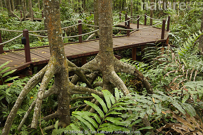 A boardwalk for visitors to the Matang mangroves.