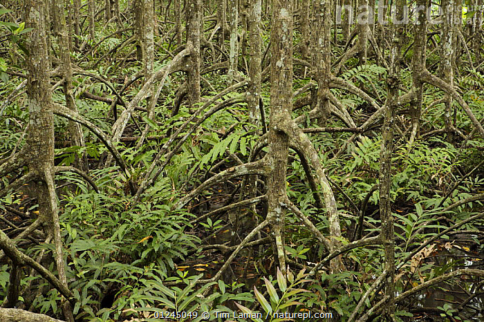 Ferns grow amongst roots of (Rhizophora apiculata) mangrove trees in a protected area of the Matang mangroves. Taiping vicinity, Perak, Malaysia. May 2006, AERIAL,ASIA,DICOTYLEDONS,LANDSCAPES,MALAYSIA,MANGROVE,MANGROVE FOREST,MANGROVES,MANGROVE SWAMPS,PLANTS,RESERVE,RHIZOPHORACEAE,ROOTS,SWAMPS,Wetlands, Tim Laman
