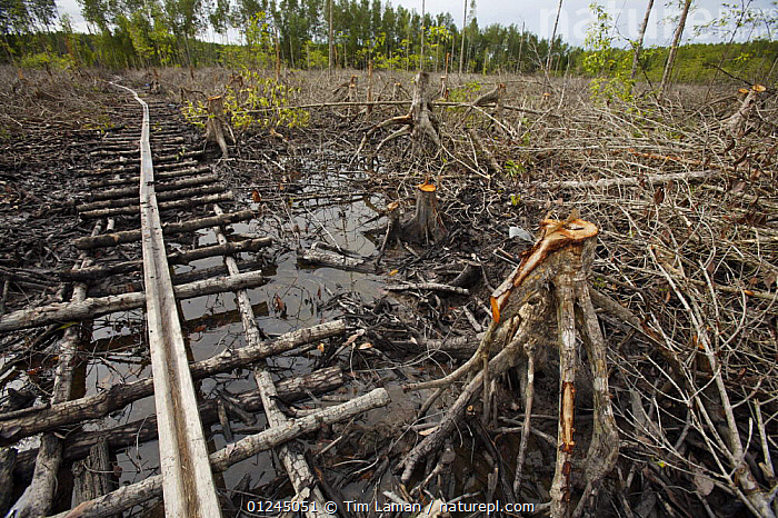 A clearcut area of mangrove forest with track for transporting the wood, Logging in the Matang mangrove forest, where (Rhizophora apiculata) trees are grown for 30 years and then harvested for charcoal production. This hundred year old program is considered the best managed production mangrove forest in the world. Taiping vicinity, Perak, Malaysia. May 2006, ASIA,CHARCOAL,COASTS,COMMERCIAL,LANDSCAPES,MALAYSIA,MANGROVE,MANGROVES,ROOTS,SUSTAINABLE,WETLANDS, Tim Laman