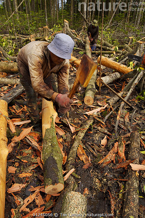 Stripping bark from mangrove logs, logging in the Matang mangrove forest, where (Rhizophora apiculata) trees are grown for 30 years and then harvested for charcoal production. This hundred year old program is considered the best managed production mangrove forest in the world. Taiping vicinity, Perak, Malaysia. May 2006, ASIA,CHARCOAL,COASTS,COMMERCIAL,DEFORESTATION,LANDSCAPES,MALAYSIA,MANGROVE,MANGROVES,PEOPLE,RESERVE,SUSTAINABLE,VERTICAL,WORKING, Tim Laman