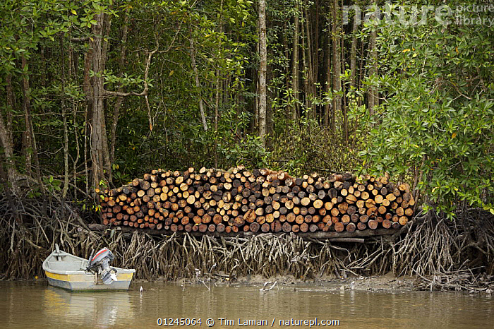 Logs stacked by the river. Logging in the Matang mangrove forest, where (Rhizophora apiculata) trees are grown for 30 years and then harvested for charcoal production. This hundred year old program is considered the best managed production mangrove forest in the world. Taiping vicinity, Perak, Malaysia. May 2006, ASIA,BOATS,CHARCOAL,COASTS,COMMERCIAL,LANDSCAPES,MALAYSIA,MANGROVE,MANGROVES,RESERVE,RIVERS,SUSTAINABLE,TIMBER,WOOD, Tim Laman