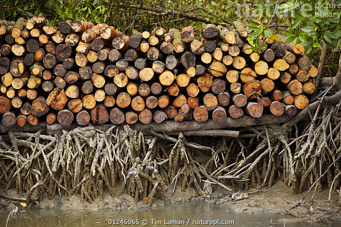 Logs stacked by the river. Logging in the Matang mangrove forest, where (Rhizophora apiculata) trees are grown for 30 years and then harvested for charcoal production. This hundred year old program is considered the best managed production mangrove forest in the world. Taiping vicinity, Perak, Malaysia. May 2006, ASIA,CHARCOAL,COASTS,COMMERCIAL,LANDSCAPES,MALAYSIA,MANGROVE,MANGROVES,RIVERS,SUSTAINABLE,TIMBER,WOOD, Tim Laman