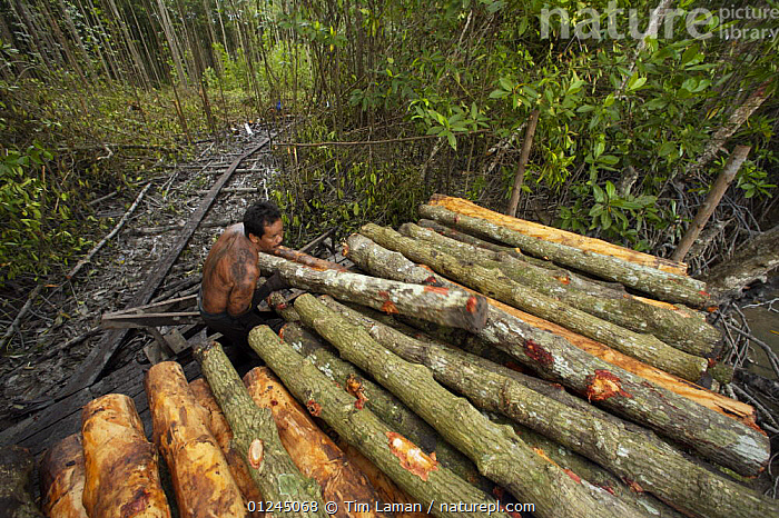 Stacking logs by the river for transport to charcoal kilns. Logging in the Matang mangrove forest, where (Rhizophora apiculata) trees are grown for 30 years and then harvested for charcoal production. This hundred year old program is considered the best managed production mangrove forest in the world. Taiping vicinity, Perak, Malaysia. May 2006, ASIA,CHARCOAL,COASTS,COMMERCIAL,LANDSCAPES,MALAYSIA,MAN,MANGROVE,MANGROVES,PEOPLE,WOOD,WORKING, Tim Laman