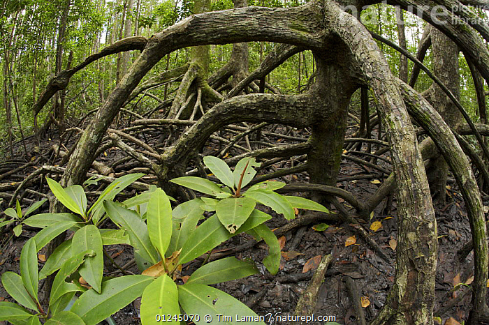 Aerial roots of Mangrove (Rhizophora apiculata)  trees in the Virgin Jungle Reserve portion of the Matang mangrove forest. Taiping vicinity, Perak, Malaysia. May 2006, ASIA,DICOTYLEDONS,MANGROVE FOREST,MANGROVES,PLANTS,RESERVE,RHIZOPHORACEAE,ROOTS, Tim Laman