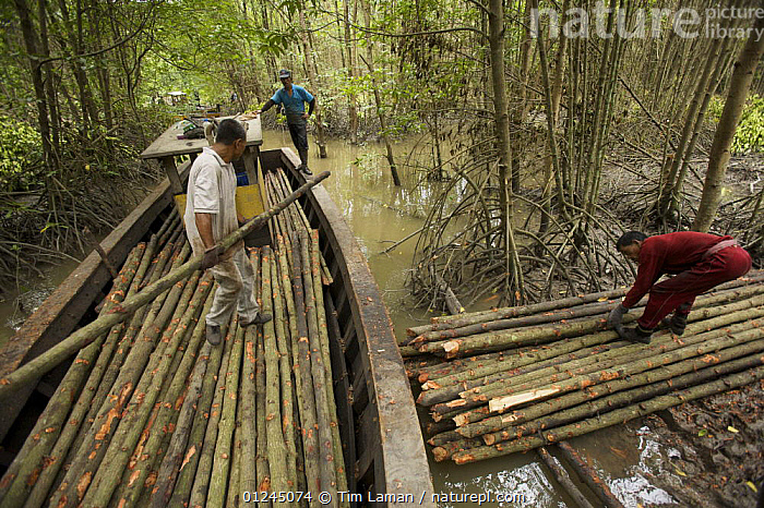 Loading harvested mangrove poles into a boat,  from the 15 year thinning phase of managed mangrove forestry at the Matang mangroves. Logging in the Matang mangrove forest, where Rhizophora apiculata trees are grown for 30 years and then harvested for charcoal production. This hundred year old program is considered the best managed production mangrove forest in the world. Taiping vicinity, Perak, Malaysia. May 2006, ASIA,BOATS,CHARCOAL,COASTS,COMMERCIAL,LANDSCAPES,MALAYSIA,MANGROVE,MANGROVES,MANGROVE SWAMPS,PEOPLE,RIVERS,SUSTAINABLE,WOOD, Tim Laman