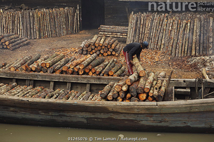 Logs stacked near the charcoal kilns. Charcoal production near Taiping, Malaysia, where (Rhizophora apiculata) mangrove wood from the Matang Mangroves is used to produce charcoal using traditional methods. Taiping vicinity, Perak, Malaysia. May 2006, ASIA,BOATS,CHARCOAL,COASTS,COMMERCIAL,FUEL,LANDSCAPES,MALAYSIA,MANGROVE,MANGROVES,MANGROVE SWAMPS,PEOPLE,RIVERS,TIMBER,WOOD,SOUTH-EAST-ASIA, Tim Laman