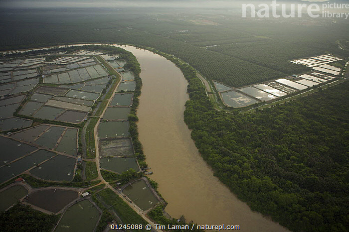 Aerial view of shrimp ponds, oil palm plantation, and river on mainland part of Pulau Pinang province, Malaysia. May 2006, AERIALS,ASIA,COASTS,COMMERCIAL,CROPS,CRUSTACEANS,INVERTEBRATES,LANDSCAPES,MALAYSIA,MARINE,PALMS,RIVERS,SHRIMP FARMING,SOUTH-EAST-ASIA, Tim Laman