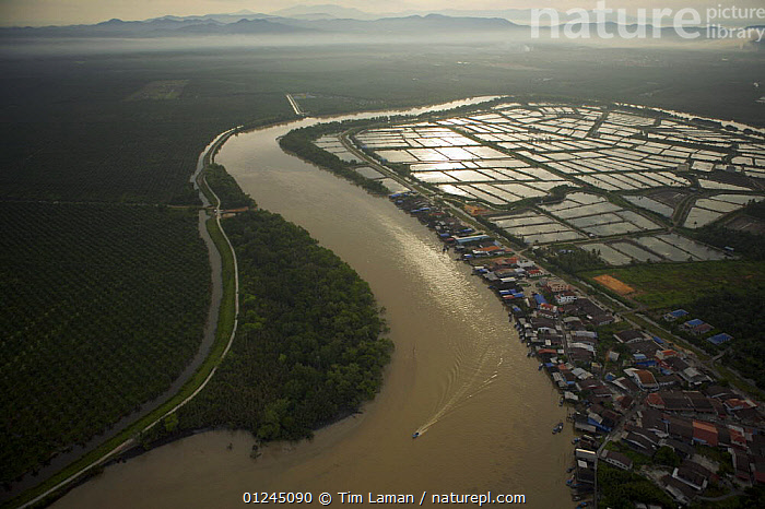 Aerial view of shrimp ponds and oil palm plantation on either side of river, Mainland part of Pulau Pinang province. Malaysia. May 2006, AERIALS,ASIA,COASTS,COMMERCIAL,CROPS,CRUSTACEANS,INVERTEBRATES,LANDSCAPES,MALAYSIA,MARINE,PALMS,RIVERS,SHRIMP FARMING,SOUTH-EAST-ASIA, Tim Laman