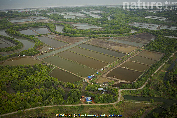 Aerial view of mangroves, rivers and shrimp ponds in the Sungai Petani area, Malaysia. May 2006, AERIALS,ASIA,COASTS,COMMERCIAL,LANDSCAPES,MALAYSIA,MANGROVE FOREST,MANGROVES,MANGROVE SWAMPS,RIVERS,SHRIMP FARMING,SOUTH-EAST-ASIA, Tim Laman