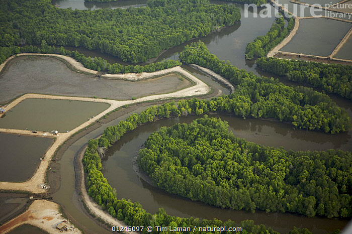 Aerial view of mangroves, rivers and shrimp ponds in the Sungai Petani area, Malaysia. May 2006, AERIALS,ASIA,COASTS,COMMERCIAL,LANDSCAPES,MALAYSIA,MANGROVE FOREST,MANGROVES,MANGROVE SWAMPS,RIVERS,SOUTH-EAST-ASIA, Tim Laman