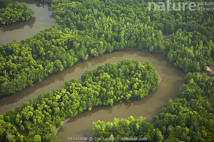 Aerial view of mangroves and river bends in the Sungai Petani area, Kedah, Malaysia. May 2006, AERIALS,ASIA,COASTS,LANDSCAPES,MALAYSIA,MANGROVE FOREST,MANGROVES,MANGROVE SWAMPS,RIVERS,SOUTH-EAST-ASIA, Tim Laman