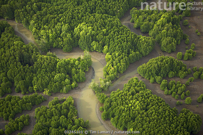 Aerial view of an area of mixed mangrove species and regenerating mangroves. Sungai Petani vicinity, Kedah, Malaysia. May 2006, AERIALS,ASIA,COASTS,LANDSCAPES,MALAYSIA,MANGROVE FOREST,MANGROVES,MANGROVE SWAMPS,REGENERATION,RIVER,RIVERS,SOUTH-EAST-ASIA, Tim Laman
