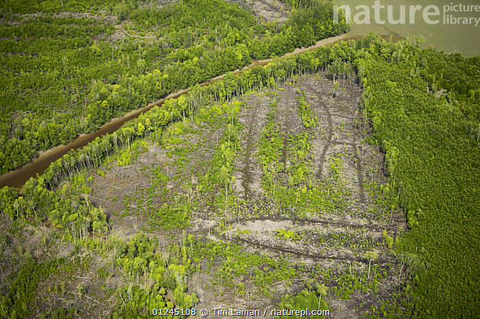 Aerial view of Matang mangrove forest, site of 100 year old managed mangrove harvesting program for charcoal production on a 30 year rotation. Taiping vicinity, Perak, Malaysia. May 2006, AERIALS,ASIA,COASTS,DEFORESTATION,LANDSCAPES,MALAYSIA,MANGROVE FOREST,MANGROVES,REGENERATION,RESERVE,RIVERS,SUSTAINABLE, Tim Laman