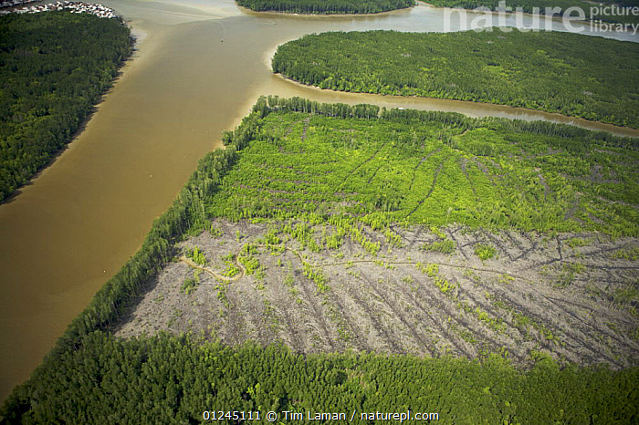 Aerial view of Matang mangrove forest, site of 100 year old managed mangrove harvesting program for charcoal production on a 30 year rotation. Recent clearcut areas visible. Taiping vicinity, Perak, Malaysia. May 2006, AERIALS,ASIA,COASTS,DEFORESTATION,LANDSCAPES,MALAYSIA,MANGROVE FOREST,MANGROVES,REGENERATION,RESERVE,RIVER,RIVERS,SUSTAINABLE,SOUTH-EAST-ASIA, Tim Laman