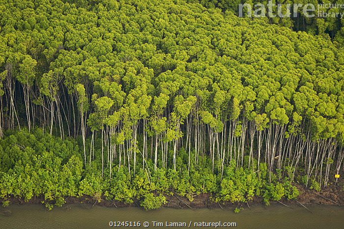 Mangrove forest in the Matang mangroves. Taiping vicinity, Perak, Malaysia. May 2006, AERIALS,ASIA,COASTS,LANDSCAPES,MALAYSIA,MANGROVE,MANGROVES,MANGROVE SWAMPS,RESERVE,TREES,PLANTS, Tim Laman