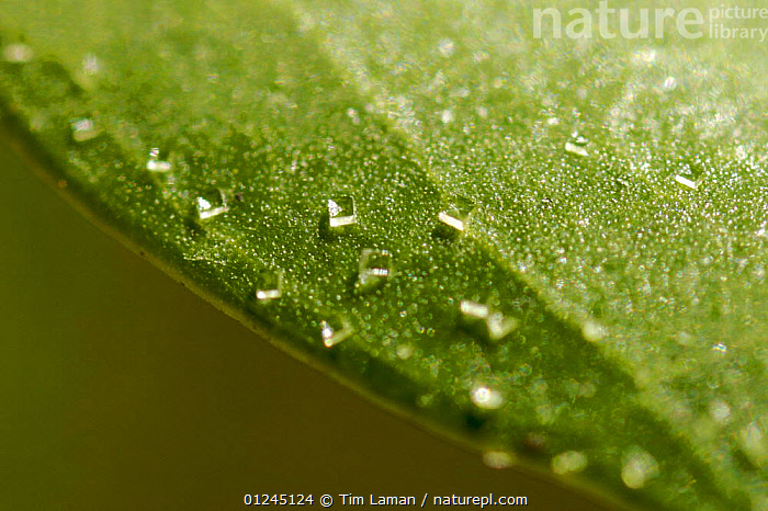 Salt crystals on the surface of a (Avecinnia sp) mangrove leaf. This mangrove species can secrete salt through special glands on the leaf surface. One adaptation that allows it to live in salt water. Matang Mangrove Forest, Taiping vicinity, Perak, Malaysia., ADAPTATIONS,ASIA,DICOTYLEDONS,GREEN,INTERESTING,LEAVES,MANGROVE,MANGROVES,PLANTS,RHIZOPHORACEAE, Tim Laman