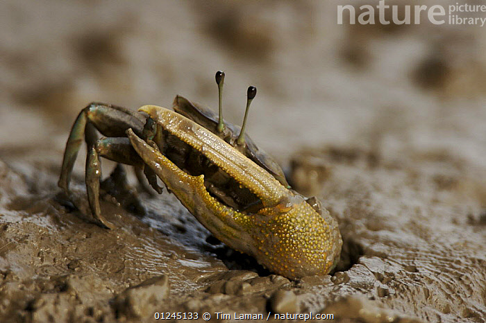 A fiddler crab {Uca sp} on the mangrove mudflats, emerging from his burrow, Matang Mangrove Forest, Taiping vicinity, Perak, Malaysia.  ,  ARTHROPODS,ASIA,CLAWS,COASTS,CRABS,CRUSTACEANS,FIDDLER CRABS,INVERTEBRATES,MANGROVE,MANGROVES,RESERVE  ,  Tim Laman