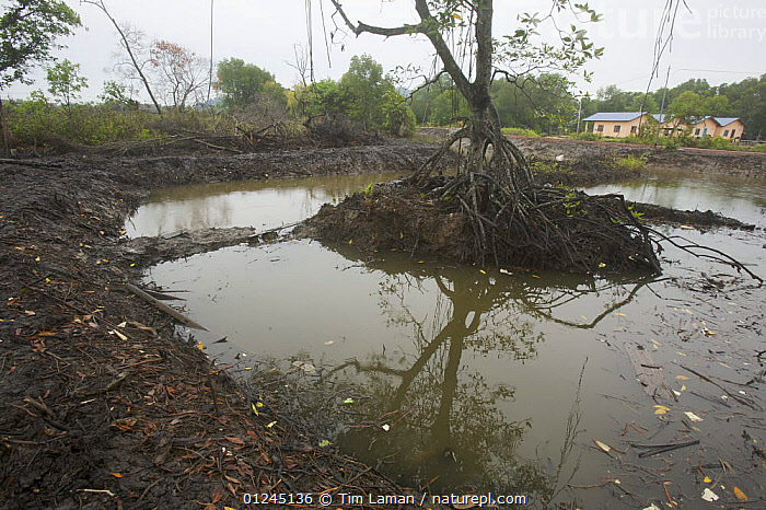 Freshly dug fish or shrimp ponds carved out of the mangroves in the Sungai Petani area, Kedah, Malaysia. May 2006, ASIA,COMMERCIAL,DEFORESTATION,ENVIRONMENTAL,FISH FARMING,LANDSCAPES,MALAYSIA,MANGROVE,MANGROVES,MANGROVE SWAMPS,SHRIMP FARMING, Tim Laman
