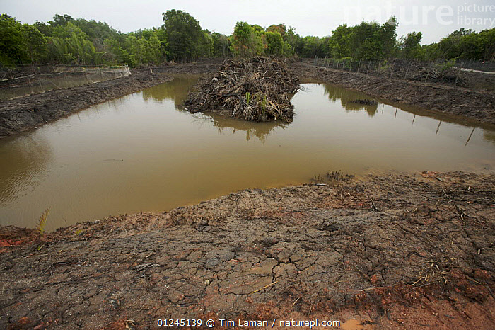 Freshly dug channels and pools to be used as fish or shrimp ponds, carved out of mangroves. Kedah, Malaysia. May 2006, ASIA,COMMERCIAL,DEFORESTATION,ENVIRONMENTAL,FISH FARMING,LANDSCAPES,MALAYSIA,MANGROVE,MANGROVES,MANGROVE SWAMPS,SHRIMP FARMING, Tim Laman