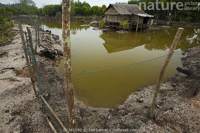A crab and fish pond dug in the manngroves with the caretakers house in the background, Kedah, Malaysia. May 2006, ASIA,BUILDINGS,DEFORESTATION,ENVIRONMENTAL,FISH FARMING,LANDSCAPES,MALAYSIA,MANGROVE,MANGROVES,PEOPLE,SOUTH-EAST-ASIA, Tim Laman