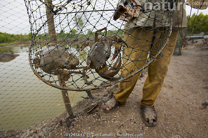 Checking the size of crabs in the crab pond by trapping them, Kedah, Malaysia. May 2006, ASIA,COMMERICAL,CRAB FARMING,CRUSTACEANS,DEFORESTATION,LANDSCAPES,MALAYSIA,MANGROVE,MANGROVES,PEOPLE,Invertebrates,SOUTH-EAST-ASIA, Tim Laman