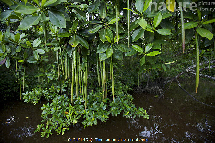 A (Rhizophora sp) mangrove tree with propagules hanging from its branches. Asmat Region, Papua, Indonesia, ASIA,COASTS,DICOTYLEDONS,INDONESIA,MANGROVE,MANGROVES,PLANTS,REPRODUCTION,RHIZOPHORACEAE, Tim Laman