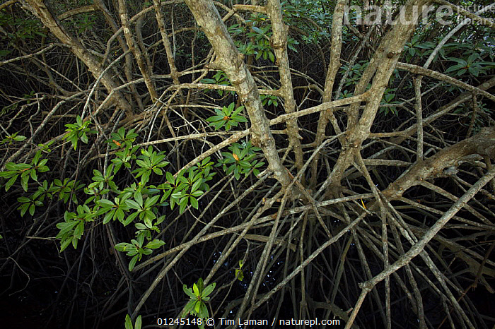 (Rhizophora sp) mangrove roots. Sanur vicinity, Bali, Indonesia., ASIA,DICOTYLEDONS,HIGH ANGLE SHOT,INDONESIA,MANGROVE,MANGROVES,MANGROVE SWAMPS,PLANTS,RHIZOPHORACEAE,ROOTS, Tim Laman