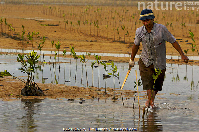 Planting (Rhizophora sp) mangrove seedlings in a estuary at low tide. This team of men, led by Mr. Rahim are from the Bali Forestry Department Section of Rehabilitation and Conservation of Mangroves. Sanur vicinity, Bali, Indonesia. June 2006, ASIA,COASTS,CONSERVATION,ENVIRONMENTAL,MANGROVE,MANGROVES,MANGROVE SWAMPS,PEOPLE,REGENERATION, Tim Laman