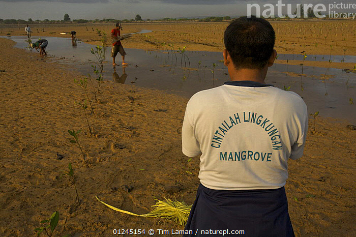 """Planting (Rhizophora sp) mangrove seedlings in a estuary at low tide. This team of men, led by Mr. Rahim are from the Bali Forestry Department Section of Rehabilitation and Conservation of Mangroves. Sanur vicinity, Bali, Indonesia. June 2006, T-shirt reads """"Love your Mangrove Environment"""" Sanur vicinity, Bali, Indonesia., ASIA,COASTS,CONSERVATION,ENVIRONMENTAL,LANDSCAPES,MANGROVE,MANGROVES,MANGROVE SWAMPS,PEOPLE,REGENERATION, Tim Laman"""
