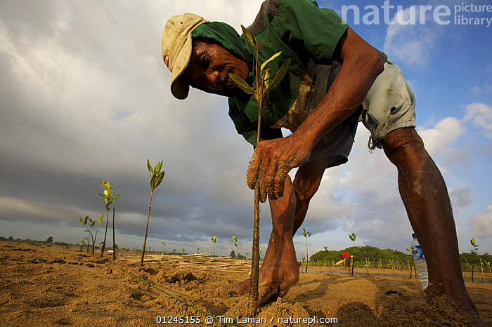 Planting (Rhizophora sp) mangrove seedlings in a estuary at low tide. This team of men, led by Mr. Rahim are from the Bali Forestry Department Section of Rehabilitation and Conservation of Mangroves. Sanur vicinity, Bali, Indonesia. June 2006, ASIA,COASTS,CONSERVATION,ENVIRONMENTAL,LOW ANGLE SHOT,MANGROVE,MANGROVES,MANGROVE SWAMPS,PEOPLE,REGENERATION,INDONESIA,SOUTH-EAST-ASIA, Tim Laman