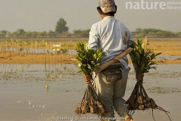 Planting (Rhizophora sp) mangrove seedlings in a estuary at low tide. This team of men, led by Mr. Rahim are from the Bali Forestry Department Section of Rehabilitation and Conservation of Mangroves. Sanur vicinity, Bali, Indonesia. June 2006, ASIA,COASTS,CONSERVATION,ENVIRONMENTAL,LANDSCAPES,MANGROVE,MANGROVES,MANGROVE SWAMPS,PEOPLE,REGENERATION,INDONESIA,SOUTH-EAST-ASIA, Tim Laman