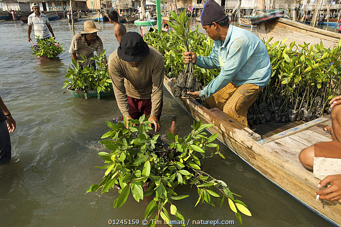 Fisherman and volunteers from the Mangrove Action Project work to plant mangrove seedlings in abandonned shrimp ponds near Jaring Halus Village, North Sumatra. Dykes have been opened to restore natural tidal flow to the ponds. Here they are loading seedlings grown in the village into boats. North Sumatra, Indonesia. June 2006, ASIA,BOATS,COASTS,CONSERVATION,ENVIRONMENTAL,HABITAT RESTORATION,INDONESIA,MANGROVE,MANGROVES,MANGROVE SWAMPS,PEOPLE,PLANTING,PLANTS,REGENERATION,VILLAGES,SOUTH-EAST-ASIA, Tim Laman